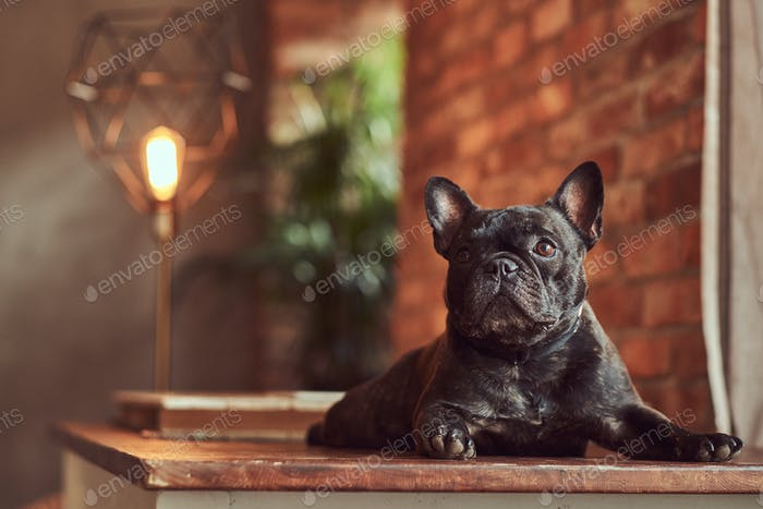 Cute black pug lies on a table in the studio with a loft interior.
