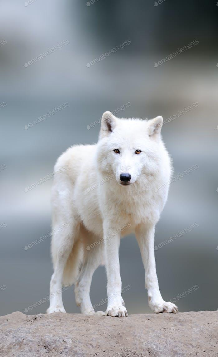 Arktische Wölfe im Winter