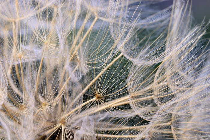 Close up of winged seeds of dandelion head plant