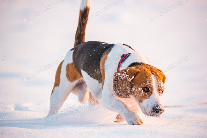 Tricolor beagle dog hound covered with snow having fun in deep snow in winter