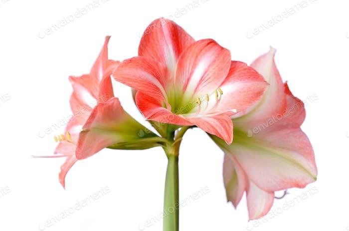 Nahaufnahme einer schönen blühenden rosa Blume