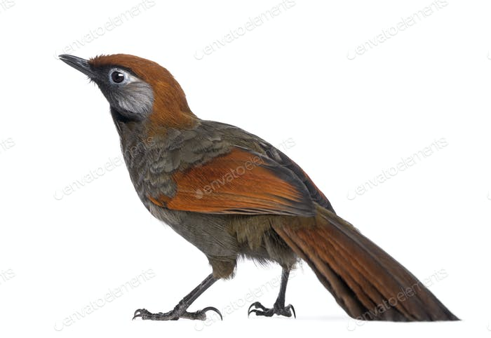 Back view on a Red-tailed Laughingthrush - Garrulax milnei, isolated on white