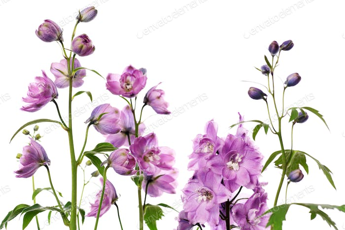 purple delphinium flowers