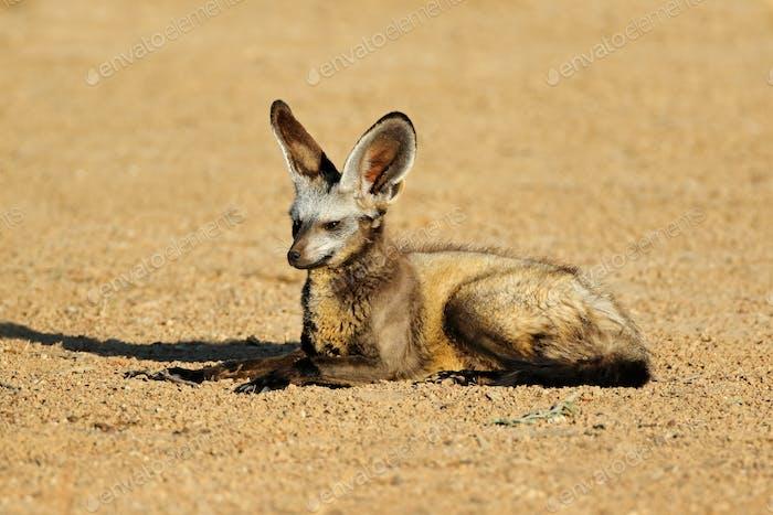 Bat-eared fox in natural habitat