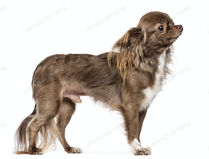 Side view of Chihuahua standing and looking away against white background