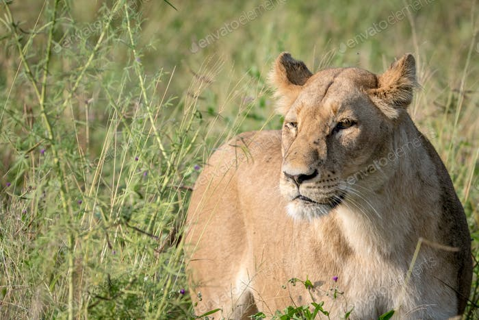 Lion standing in the high grass and starring.