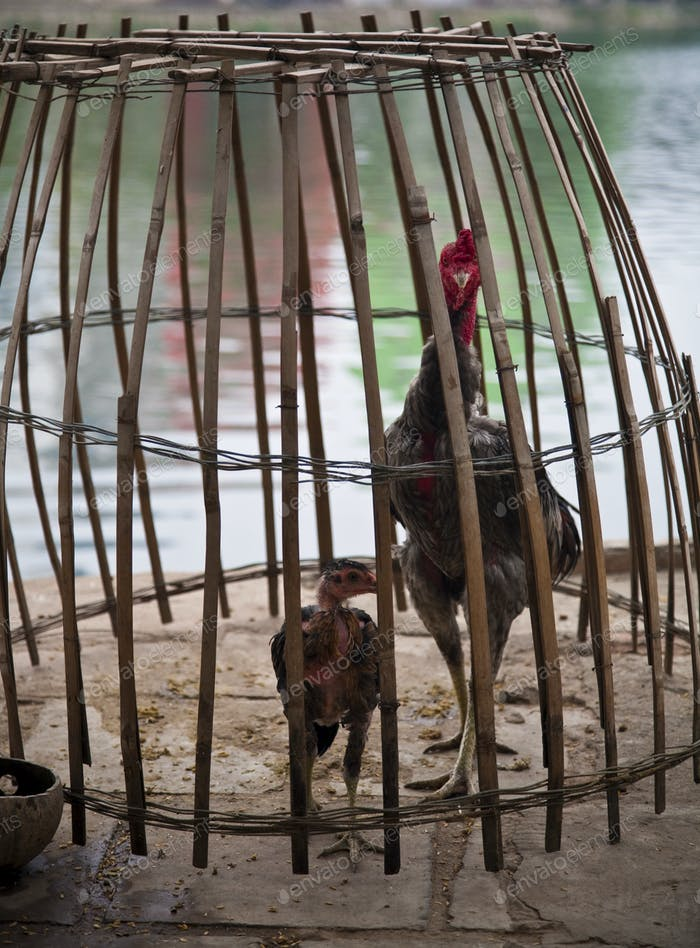 49963,Chickens in Bamboo Cage