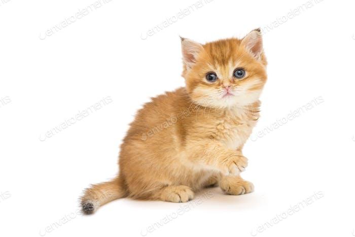 Little British kitten