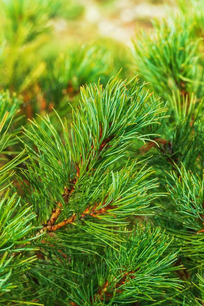 Needles of Branch Japanese Stone Pine Pinus Pumila. Natural Coniferous Medicinal Plant