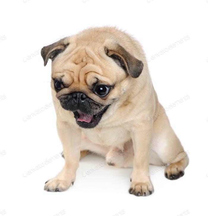 pug (3 years)