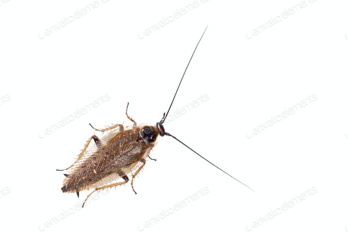 Cockroach Ectobius lapponicus on a white background