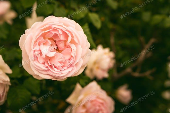 Rosa Rose auf dem Ast im Garten
