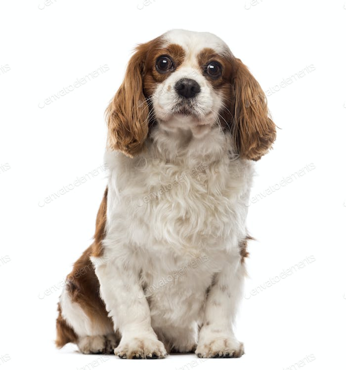 Front view of a Cavalier King Charles Spaniel sitting, looking at the camera