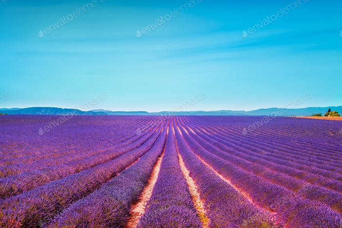 Lavender flowers blooming field and clear sky. Valensole, Proven