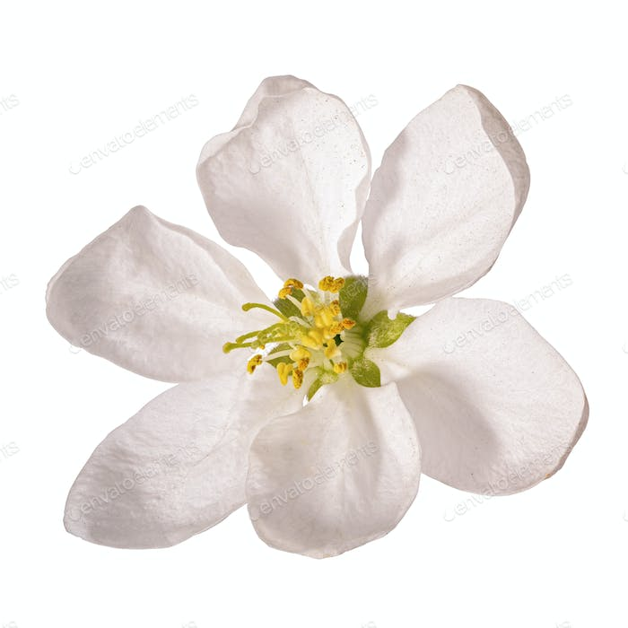 Cherry flower isolated on white