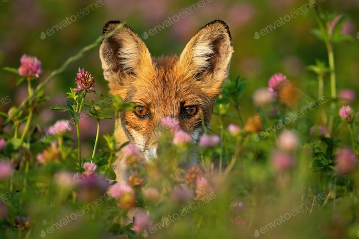Close-up of a shy red fox hiding behind grass and flowers at sunrise
