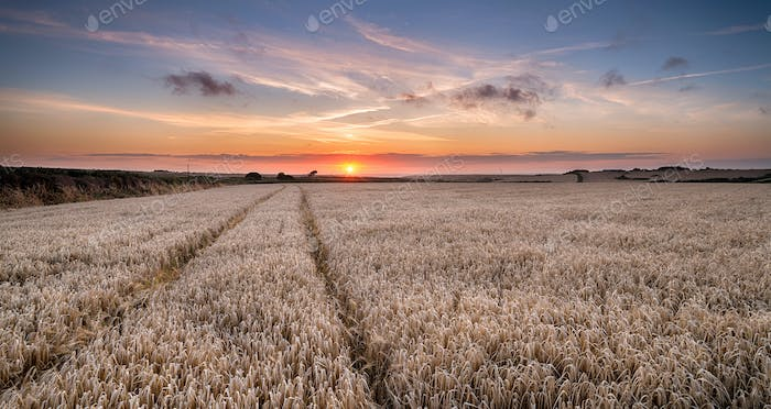 Barley Field in the Cornish Countryside