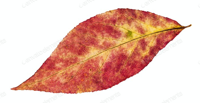 autumn pied leaf of willow tree isolated on white