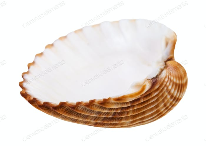 empty yellow brown seashell of cockle isolated