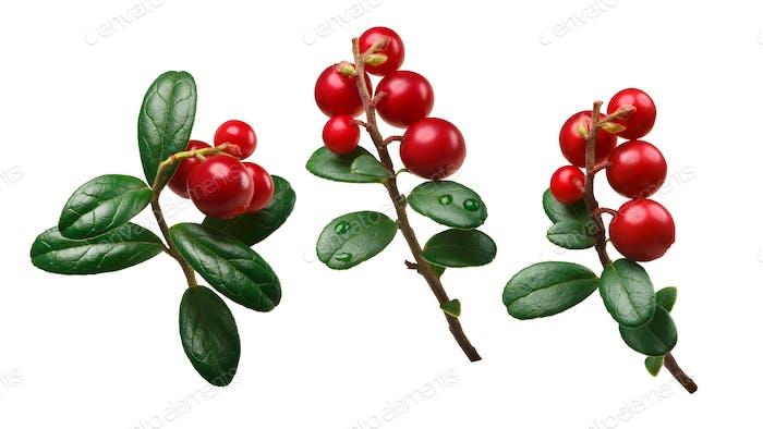 Lingonberry vaccinium vitis-idaea, paths
