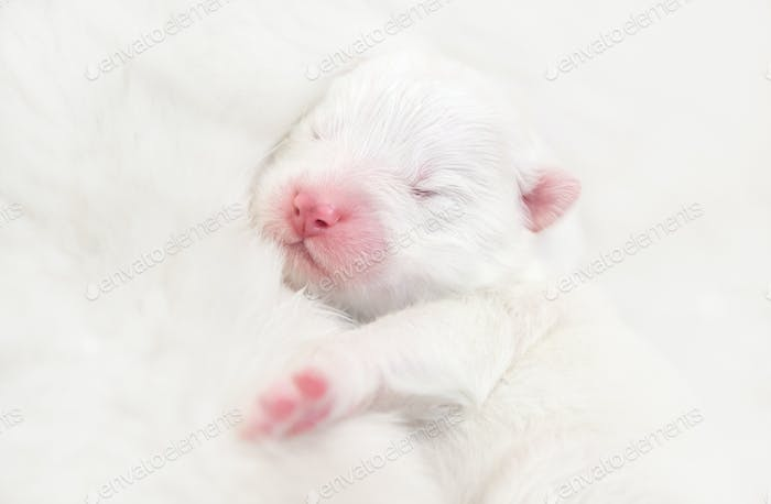Blind newborn white puppy