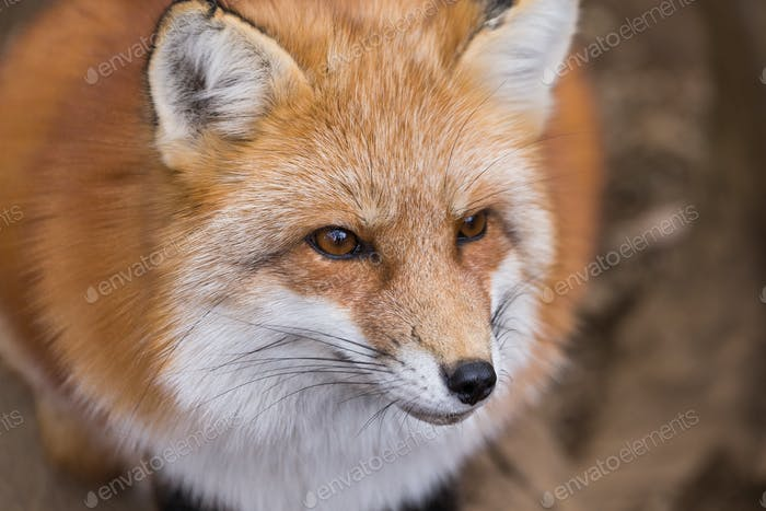 Adorable fox