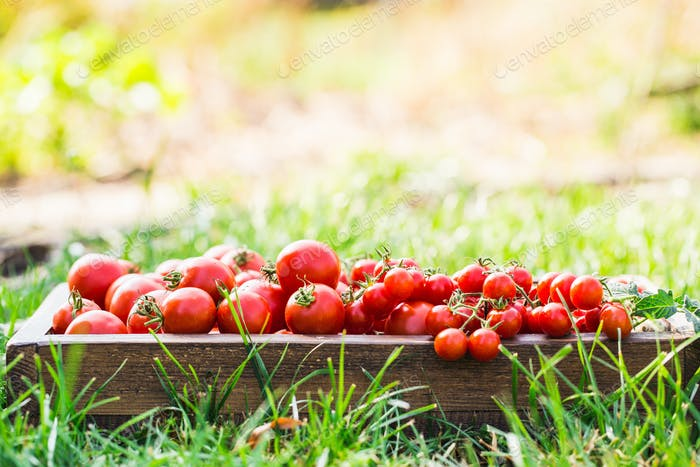 Ripe tomatoes on a wooden tray. On the grass