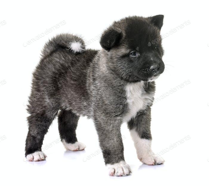 Puppy American Akita Photo By Cynoclub