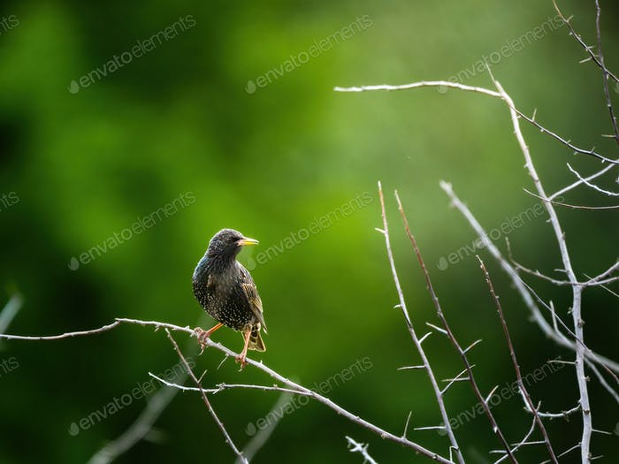 Common Starling , Sturnus vulgaris