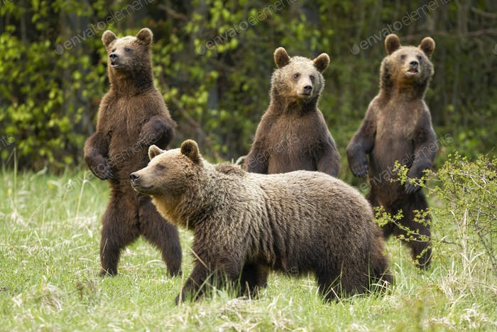 Family of brown bear with curious three cubs standing on rear legs in spring