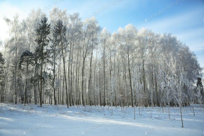 Красивый зимний закат с березовыми деревьями в снегу