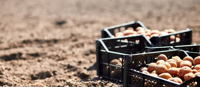Plowed land and potato tubers in box. Agriculture