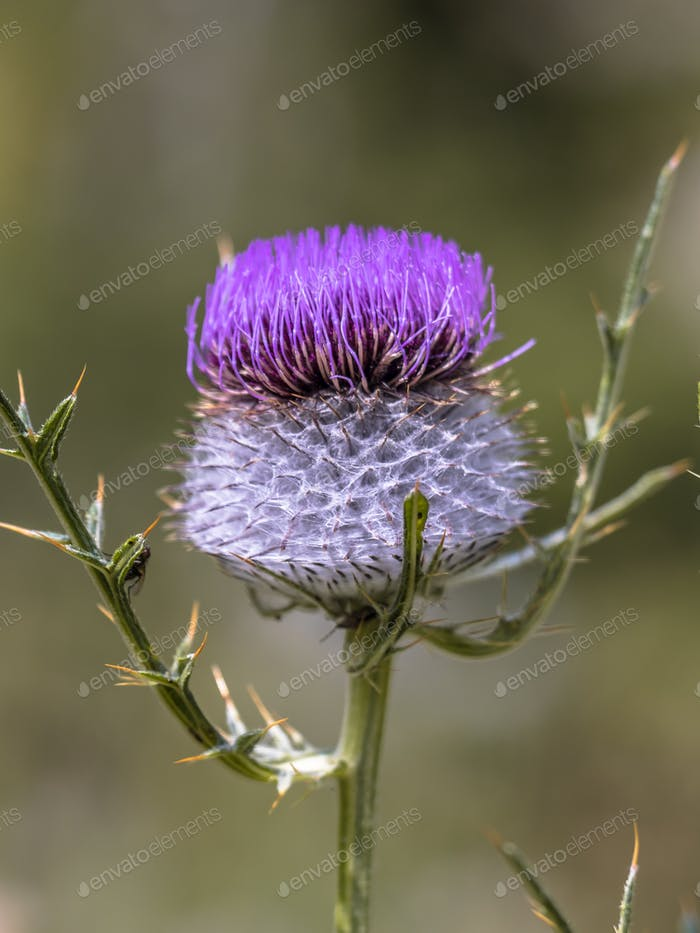 Purple flower of Wooly Thistle
