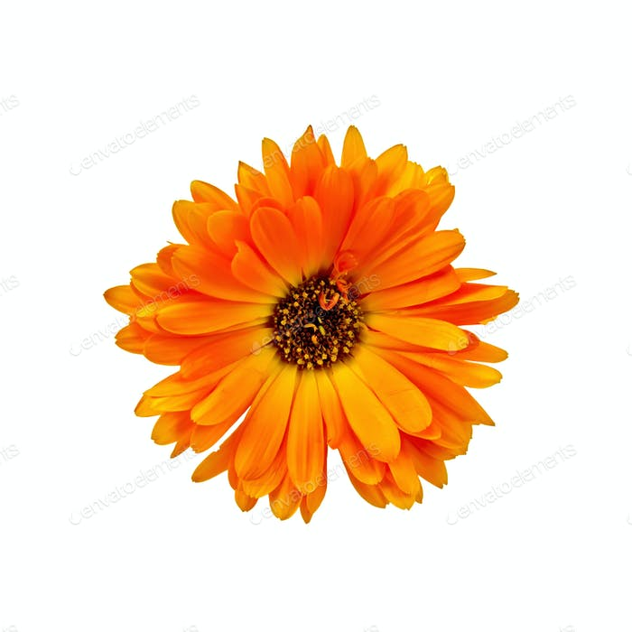 Calendula orange with dark core