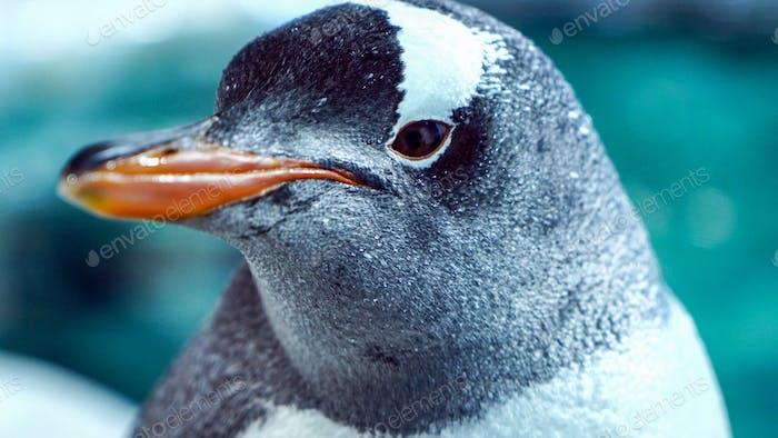 Gentoo Penguin Close Up 8