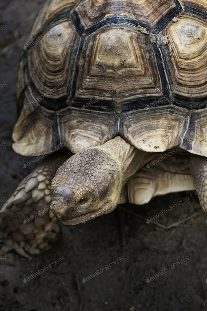Closeup of Tortoise with beautiful pattern on it shell