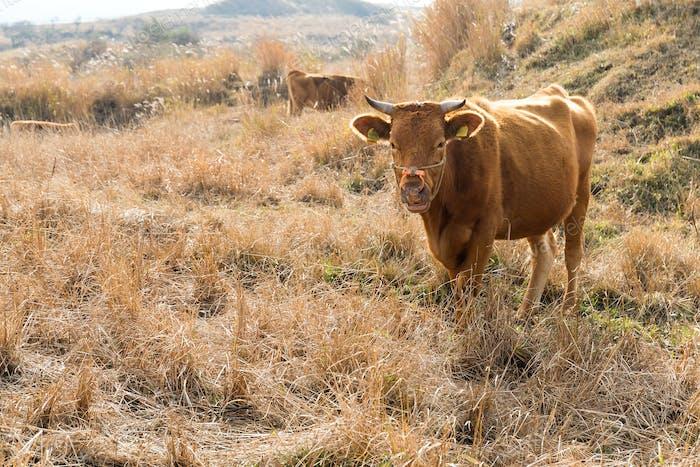Rinderfarm