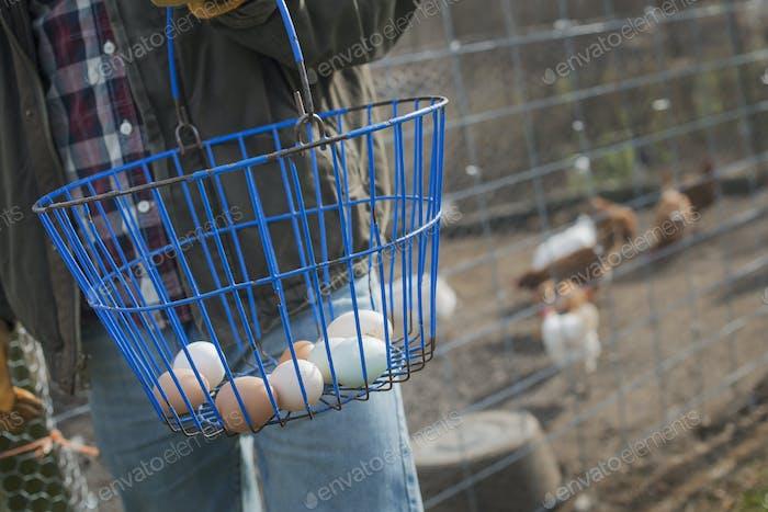 Ein kleiner Bio-Milchviehbetrieb, der Korb mit Eiern hält und zu den Tieren neigt.