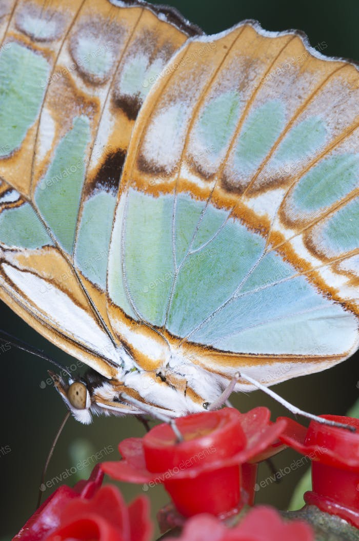 Macro of a Tropical Butterfly