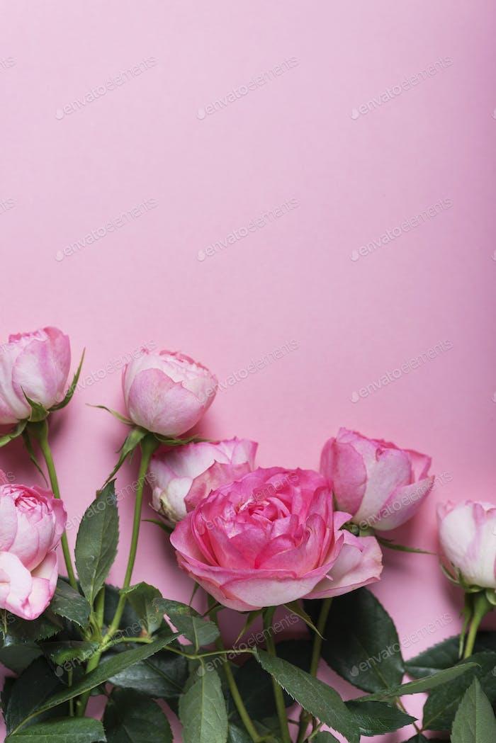 Розовые английские розы на розовом фоне