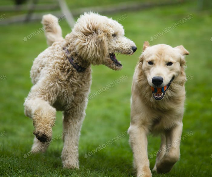 Happy Golden Retreiver Dog with Poodle Playing Fetch Dogs Pets