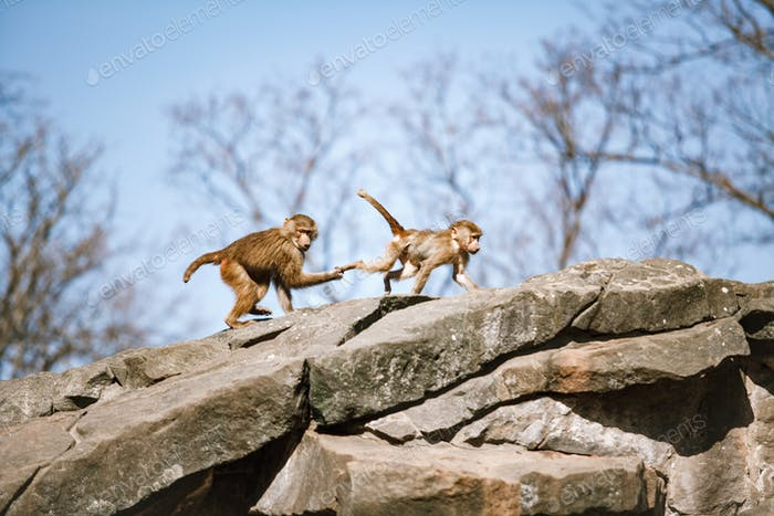 Thumbnail for Hamadryads Baboons sit in the mountains.