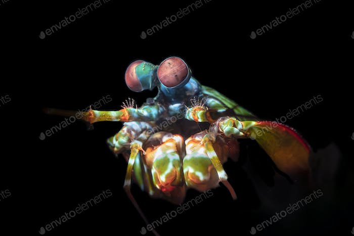 Colorful Mantis Shrimp with Complex Eyes