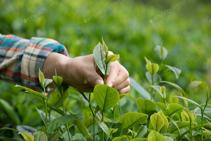 Hand hold the spring tea leaves
