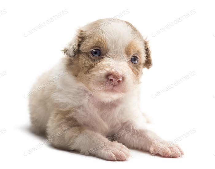 Australian Shepherd puppy, 24 days old, lying and portrait against white background