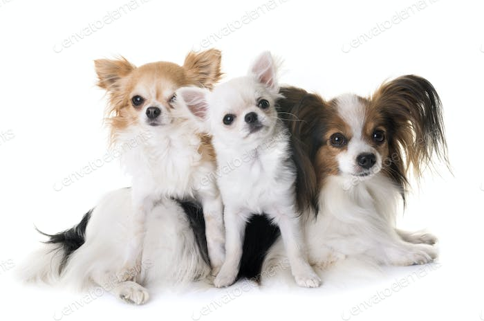 papillon dog and chihuahua