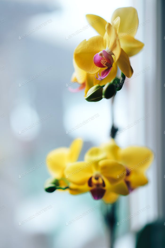 Blooming yellow orchid grown at home. Taking care of home plants. Photo for a greeting card