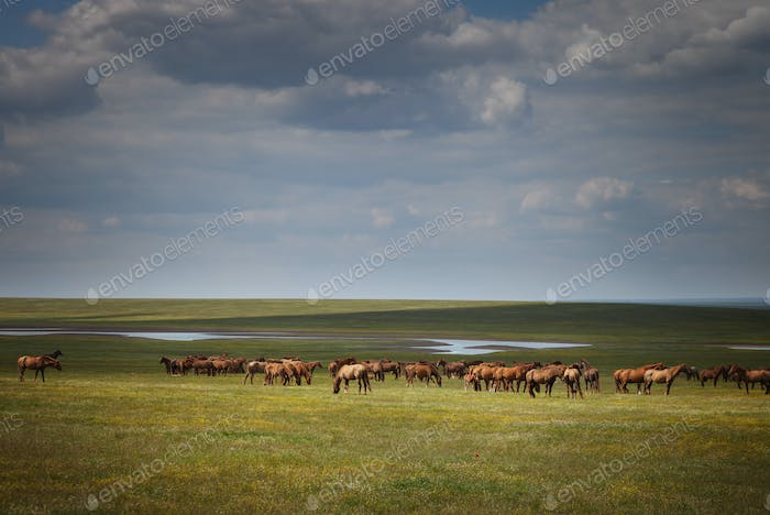 Herd of wild horses in a field