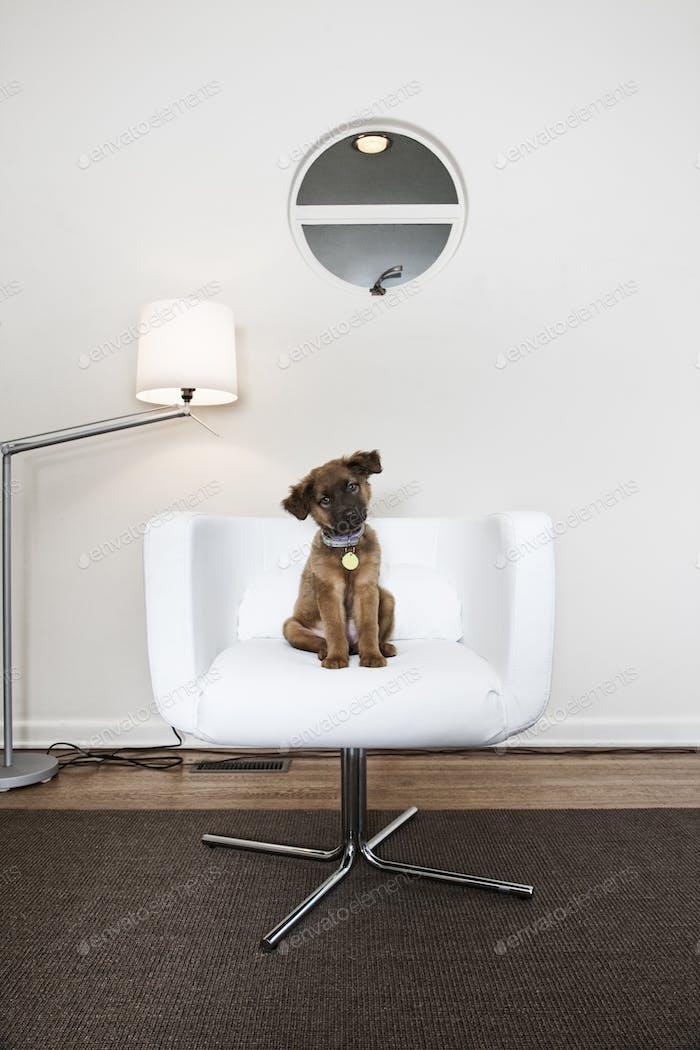 Ein kleiner brauner Hund mit einem Halsband sitzt in einem weißen Stuhl Kopf geneigt.
