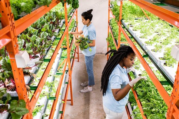 Zwei interkulturelle weibliche Gewächshausarbeiterinnen treffen Auswahl von Sämlingen